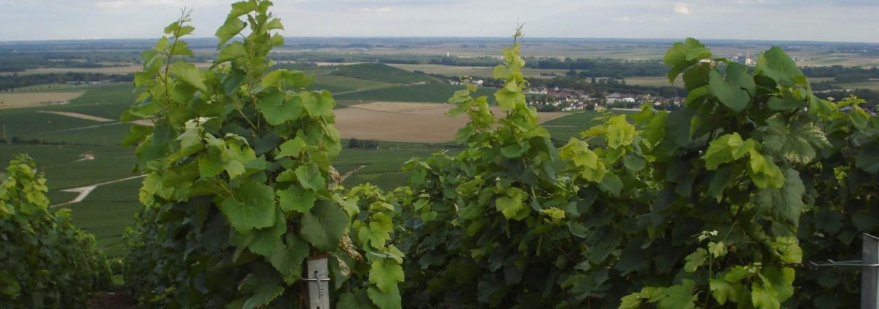 Séjour en Champagne - Les Vignes